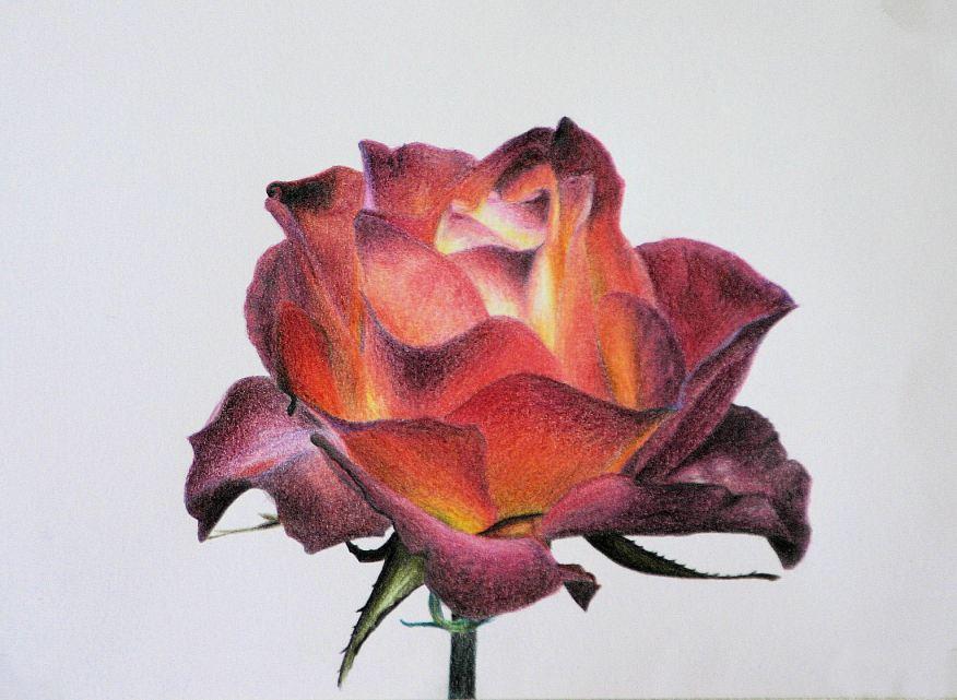 Fiery Rose